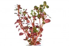 Людвигия Супер Ред (Ludwigia repens Super red)