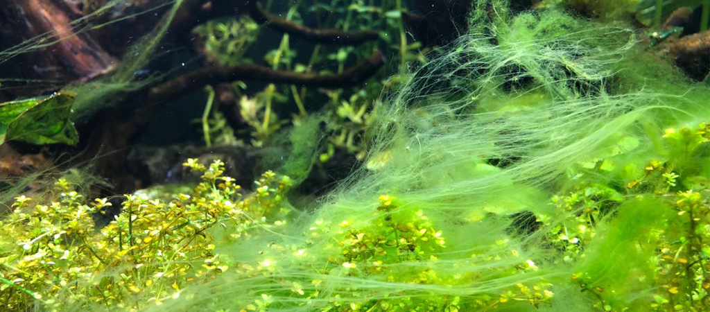водоросли в аквариуме нитчатка фото забудь